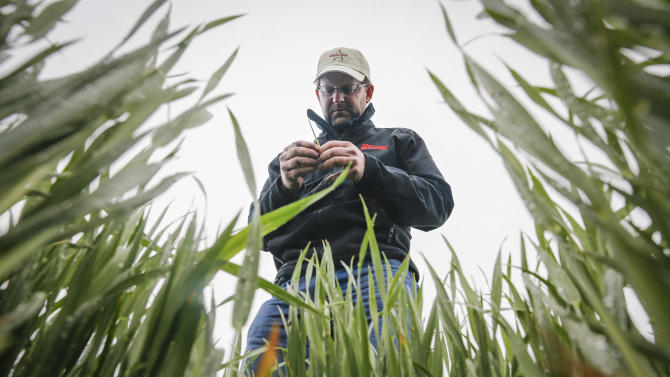 In this May 1, 2013, photo Kansas farmer Ben McClure, a farmer from Hugoton, Kan., examines a wheat stalk in a Reno County wheat field. The Agriculture Department Friday, May 10, 2013, forecast U.S. farmers will harvest a far smaller winter wheat crop this season than a year ago, particularly for the hard red varieties used to bake bread. (AP Photo/The Wichita Eagle, Travis Heying)
