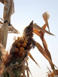 <p>Poor quality corn is pictured in a field near Aleksinac, southern Serbia, in August 2012. German banks seem to be losing their appetite for agricultural commodities trading as public opinion turns against the investment vehicles blamed for driving up global food prices.</p>