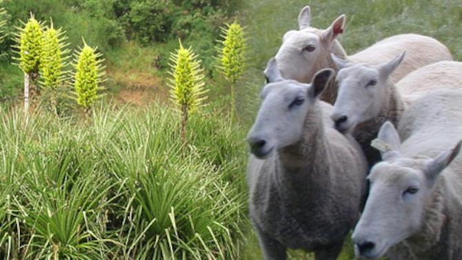 Ghastly Sheep-Eating Plant Blooms in UK