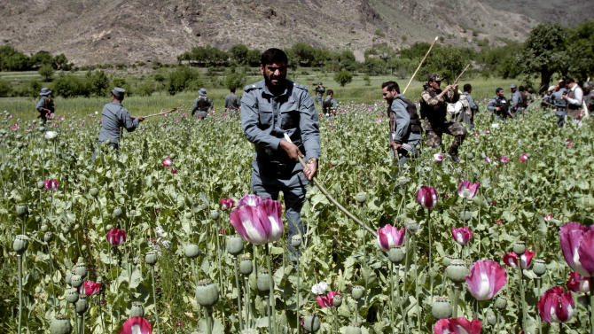 Afghan policemen destroy an opium poppy field in Noorgal, Kunar province, east of Kabul, Afghanistan, Saturday,  April 13, 2013. Opium poppy cultivation has been increasing for a third year in a row and is heading for a record high, the U.N. said in a report released Monday. Poppy cultivation is also dramatically increasing in areas of the southern Taliban heartland, the report showed, especially in regions where thousands of U.S.-led coalition troops have been withdrawn or are in the process of departing. The report indicates that whatever international efforts have been made to wean local farmers off the crop have failed. (AP Photo/Rahmat Gul)