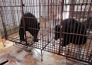 This picture provided by Animals Asia and taken on November 29, 2011 shows Asiatic black bears inside a cage at a private bear bile farm in Vietnam. A sanctuary for bears rescued from the bile trade which has been at the centre of a high-profile land dispute has been spared eviction by Vietnam's government, its director said