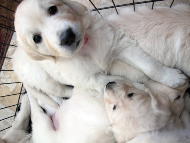 In this Feb. 1, 2013 photo, an English golden retriever puppy sits with her litter in Fond du Lac, Wis. She will be trained to become a therapy dog for a teenager who was severely injured in a fall from a Wisconsin amusement park ride in 2010. Actor Charlie Sheen says he&#39;s donating $10,000 for the dog&#39;s training and other expenses. (AP Photo/Carrie Antlfinger)