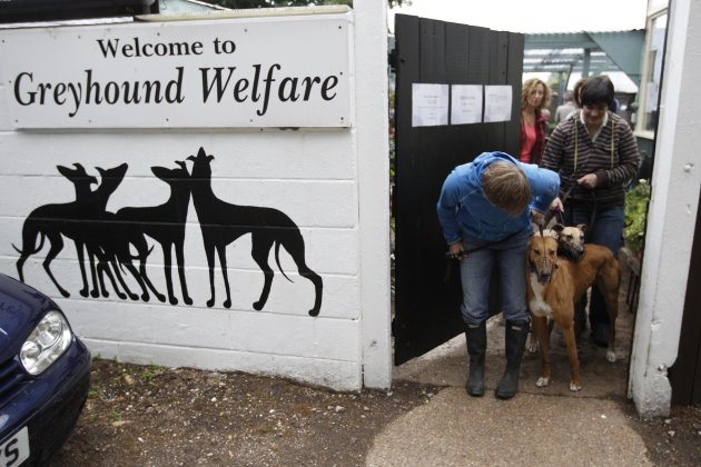Volunteers coax retired racing dogs through a door to take them for a walk in the grounds surrounding Wimbledon Greyhound Welfare in Hersham, Surrey