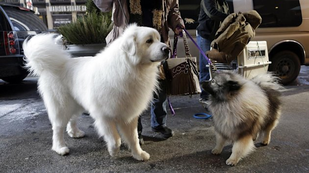 Owner Darla Daugherty, of Danville, Ind., arrives with her Great Pyrenees named Beren, the No. 1 in his class, and a Cason named Sully at the Hotel Pennsylvania in New York, Sunday, Feb. 10, 2013. The