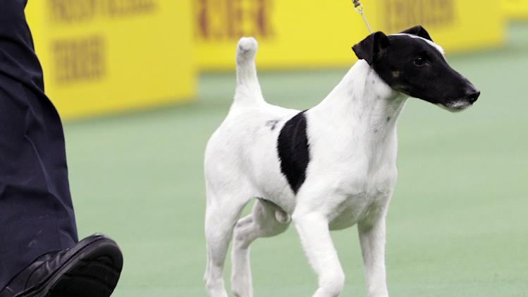 Adam, a smooth fox terrier and winner of the terrier group, is shown during the 137th Westminster Kennel Club dog show, Tuesday, Feb. 12, 2013, at Madison Square Garden in New York. (AP Photo/Frank Franklin II)