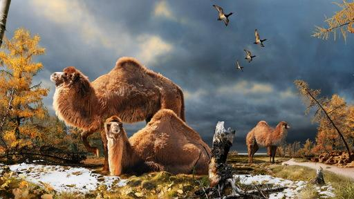 Giant Camels Roamed the Arctic 3.5 Million Years Ago