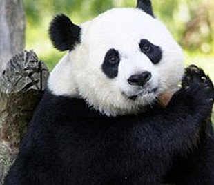 The panda cam at the National Zoo has gone dark. Oh no!