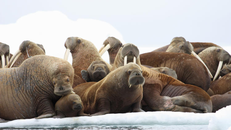 Feds: Lack of sea ice changes walrus behavior