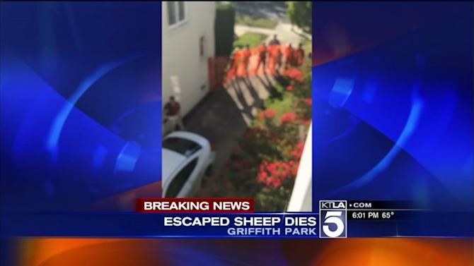 Bighorn Sheep Dies in Los Feliz After Escaping From L.A. Zoo