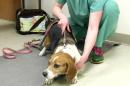 This Saturday, April 16, 2016, image taken from video shows a dog being held by a volunteer after having its blood drawn during a lead screening event held at the Humane Society of Genesee County in Burton, Mich. Professors, students and technicians associated with Michigan State University's College of Veterinary Medicine volunteered to assist at the event, which was geared toward dogs that live in Flint, Mich., and potentially were exposed to lead in their drinking water. (AP Photo/Mike Householder)