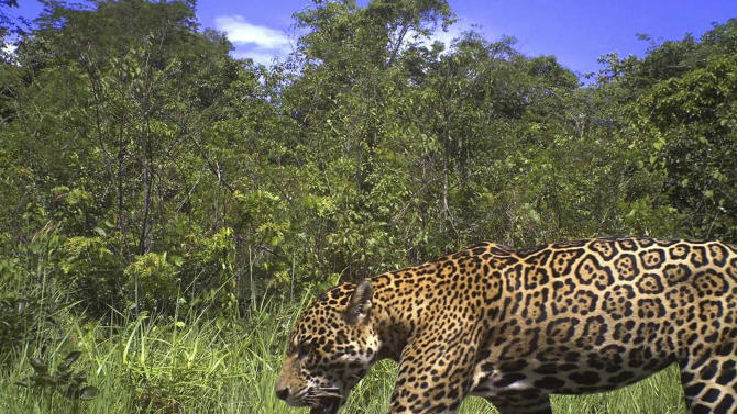 Guyana pledges to protect jaguars