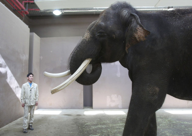 Koshik, a 22-year-old Asian elephant, puts his trunk in his mouth to modulate sound next to his chief trainer Kim Jong-gab at the Everland amusement park in Yongin, South Korea, Friday, Nov. 2, 2012. Koshik uses his trunk to pick up not only food but also human vocabulary. He can reproduce five Korean words by tucking his trunk inside his mouth to modulate sound. (AP Photo/Ahn Young-joon)