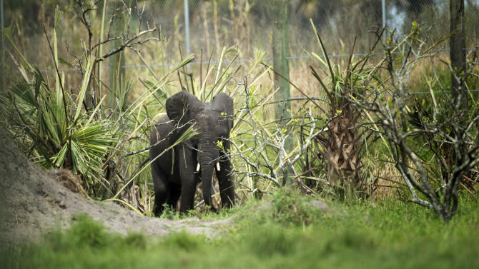 In this Sept. 4, 2013 photo, a young elephant makes its way through the remains of an old citrus farm near Fellsmere, Fla. Four African elephants are now living on 200 acres in the heart of Florida's citrus grove region in the newly opened National Elephant Center. Officials at the center, quickly learned the elephants ate oranges from the old trees, eating up to 300 a day. (AP Photo/J Pat Carter)