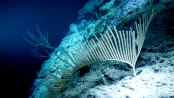 Video from James Cameron Deep-Sea Dive Reveals New Species