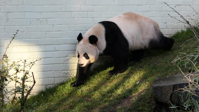 FILE - In this Dec. 12, 2011 file photo, a giant female panda named Tian Tian is seen exploring her enclosure at Edinburgh Zoo in Edinburgh, Scotland. Zoo officials on Tuesday, April 3, 2012 created a private love nest for Britain's only pair of giant pandas in hope the fertility-challenged animals will mate. Giant pandas have difficulty breeding, with females fertile for only two or three days a year. (AP Photo/Scott Heppell, File)