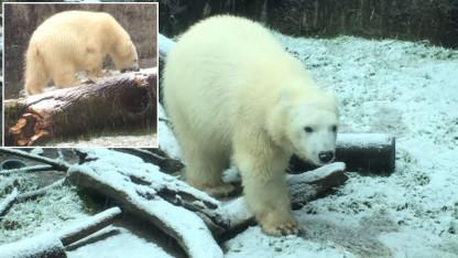 Watch This Polar Bear's Adorable Reaction as She Experiences Snowfall for the First Time