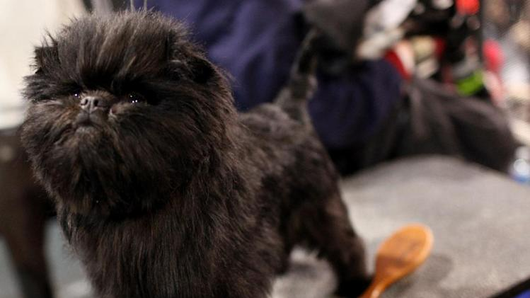 Banana Joe, an affenpinscher, owned by Zoila Truesdale and Mieke Cooymans, waits in the grooming table at the 136th annual Westminster Kennel Club dog show, Monday, Feb. 13, 2012, in New York. (AP Photo/Craig Ruttle)