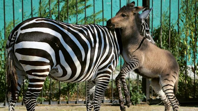A hybrid (R) of zebra and a donkey plays with his mother at the Taigan zoo park outside Simferopol on August 5, 2014. The 'zonkey' has been named 'Telegraph' by his keepers