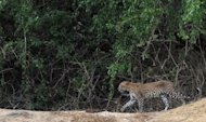 A leopard in Sri Lanka's Yala National Park southwest of Colombo. Zambia has banned lion and leopard hunting to protect rapidly decreasing feline numbers for a burgeoning safari industry, despite criticism that it will drive tourists away.