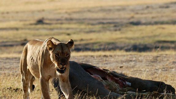 Take That, Ladies! Male Lions Ambush Prey