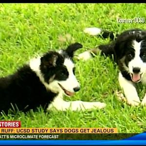 Live is ruff: UC San Diego study says dogs get jealous