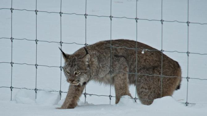 Lynx spotted in Banff National Park