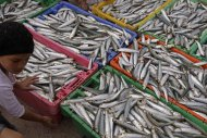 In this photo taken on Sunday, Nov 20, 2011, a child looks over a day's catch of sardines at the Hout Bay Harbour near Cape Town South Africa. Numbers of penguins in the Cape of Good Hope are dropping as the bird depends on species like sardines to survive and to feed their chicks. Climate change could mean unthinkable loss for South Africa, which hosts talks on global warming that will bring government negotiators, scientists and lobbyists from around the world to the coastal city of Durban next week (AP Photo/Schalk van Zuydam)