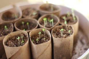 Toilet Paper Roll Seedlings