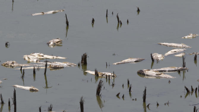 In this July 26, 2012 photo, dead fish float in a drying pond near Rock Port, Mo. Multitudes of fish are dying in the Midwest as the sizzling summer dries up rivers and raises water temperatures in some spots to nearly 100 degrees. (AP Photo/Nati Harnik)