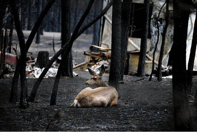 A deer lies in ash near the ruins of a home on Brentwood Drive near Colorado Springs, Colo., Monday, June, 17, 2013. Investigators believed Colorado's Black Forest Fire was human-caused, and were goin