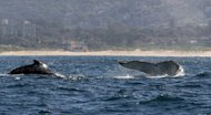Humpback whales are seen rising out of the water in 2008 off the coast of Sydney. Australia has announced it will create the world&#39;s largest network of marine parks to protect ocean life, with limits placed on fishing and oil and gas exploration off the coast
