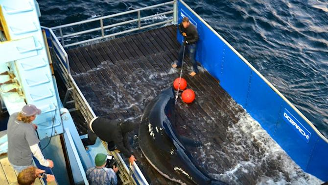 This Sept. 18, 2012, photo provided by OCEARCH shows scientists lifting a great white shark named Mary Lee so it can be tagged off Cape Cod, Massachusetts. The shark was tracked south to the Florida coast but as of Thursday, January 31, 2013, was again off Long Island, N.Y. OCEARCH, a nonprofit group that studies sharks and other large marine species, says little is known about the migration patterns of great whites. (AP Photo/OCEARCH, Mike Estabrook)