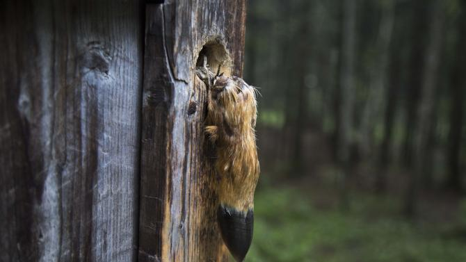 In this June 17, 2014 photo, a deer's hoof used as a door handle, hangs from the front door of the home where North Koreans say the late leader Kim Jong Il was born around Mount Paektu in North Korea's Ryanggang province. North Koreans venerate Mount Paektu for its natural beauty, but more importantly because it is considered the home of the North Korean revolution. (AP Photo/David Guttenfelder)