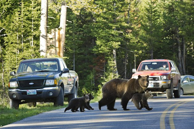 FILE - This June 2011 file photo shows Grizzly bear No. 399 crossing a road in Grand Teton National Park, Wyo., with her three cubs. People now can use their phones to find out where somebody has just seen a bison, wolf or grizzly bear in Yellowstone National Park. The new apps take wildlife viewing to a new level but not without raising concerns for the well-being of wildlife, park rangers and the tourists themselves. (AP photo/Tom Mangelsen, File)
