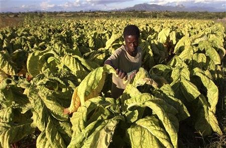 Farm worker, Solomon Motsi, harvests tobacco leaves at Nyamzura Farm in Odzi, about 200km (124 miles) east of the capital Harare February 18, 2011. REUTERS/Philimon Bulawayo