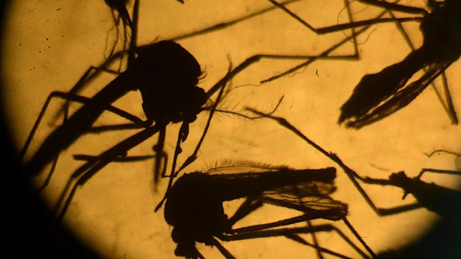 Aedes aegypti mosquitos in a laboratory at the University of El Salvador, in San Salvador