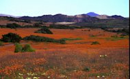 File: In this photo taken Saturday September 14 1996 one of the world's great spectacles, the surrounding Namaqualand countryside blooms in teeming colours best described as a psychedlic fantasy. Climate change could mean an unthinkable loss of the flowers in South Africa, which hosts talks on global warming that will bring government negotiators, scientists and lobbyists from around the world to the coastal city of Durban next week (AP Photo/Sasa Kralj-File)