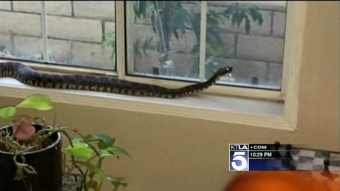 Oak Park Woman Finds Huge Rattlesnake Sitting on Windowsill; Calls 911