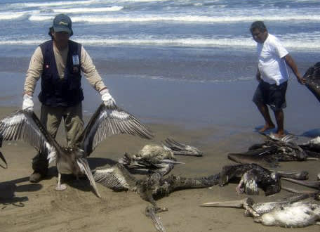 In this April 28, 2012 photo provided by the Agriculture Ministry, a health ministry worker holds up the carcass of a pelican on the shore of Pimentel beach in Chiclayo, Peru. Scientists studying a mass die-off of dolphins and the more recent deaths of thousands of pelicans on northern Peru's beaches say there is no evidence the two are related. (AP Photo/Agriculture Ministry)