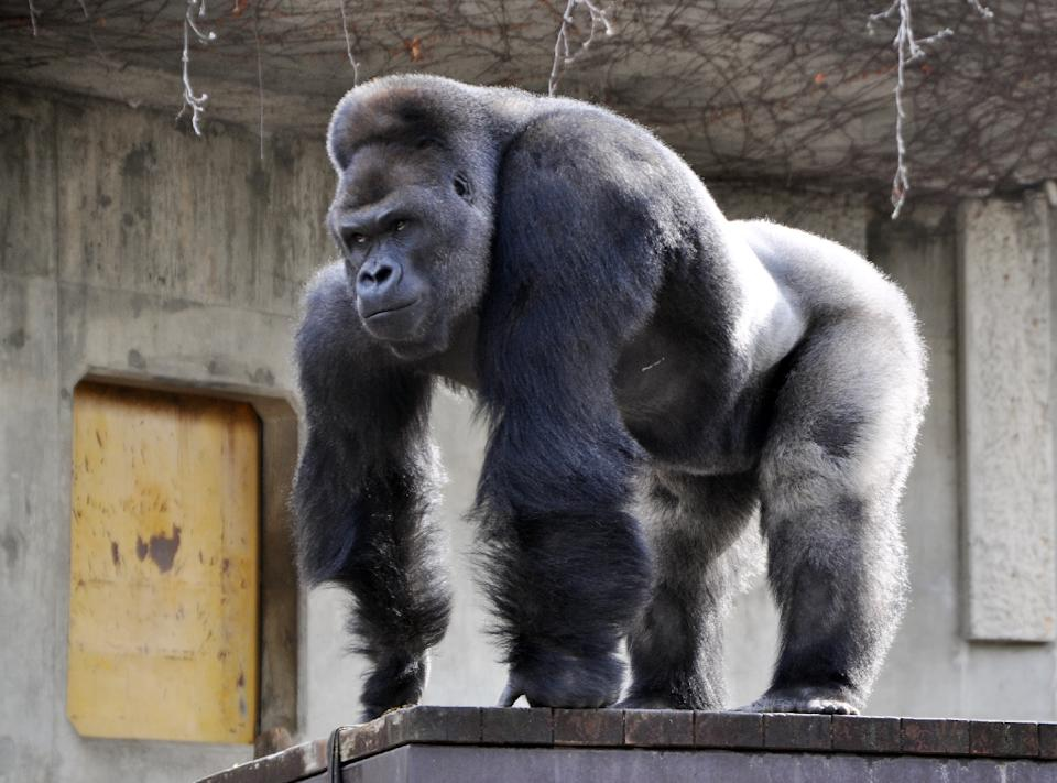 Women Flock to Japan Zoo to See 'Hunky' Gorilla