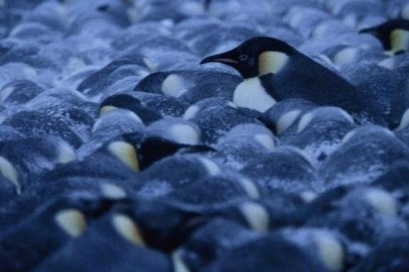 Math Reveals Perfectly Cozy Penguin Huddles