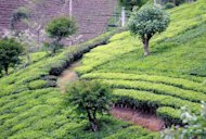 This file photo shows a tea plantation in Kotmale, Sri Lanka. A recent Australian study has shown that in countries like Madagascar, Papua New Guinea, Sri Lanka and Honduras, 50 to 60 percent of biodiversity loss was linked to exports, mostly to meet demand from richer countries
