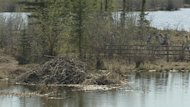 The beavers lived in this large dam in Niven Lake next to a walking trail. They've been shipped about 30 kilometres outside of the city.