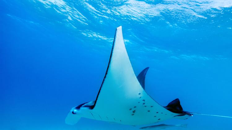 Indonesia announces world's biggest manta ray sanctuary