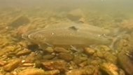 The New Brunswick Salmon Council says junior salmon, called grilse, are key to the population health of the species.