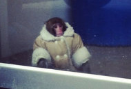 Ikea monkey | Photo Credits: CTV