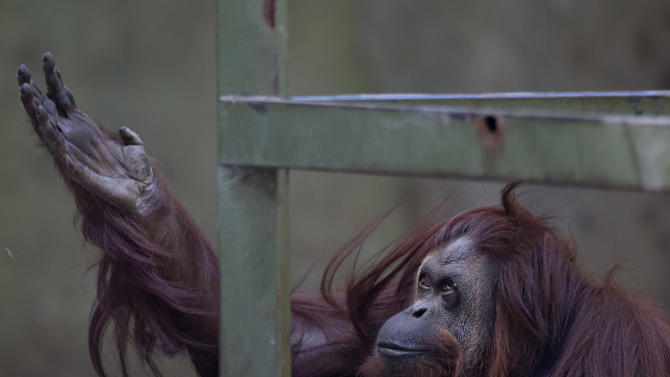 """CORRECTS THAT THE ORANGUTAN IS NOT A """"NON-HUMAN PERSON"""" - The orangutan named Sandra sits in her enclosure at Buenos Aires' Zoo in Buenos Aires, Argentina, Monday, Dec. 22, 2014. An Argentine court has ruled that Sandra, who has spent 20 years at the zoo, is entitled to some legal rights enjoyed by humans. The ruling would free Sandra from captivity and have her transferred to a nature sanctuary after a court recognized that the primate has some basic human rights. (AP Photo/Natacha Pisarenko)"""