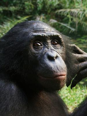 Hippie Chimps: New Clue May Explain Bonobo Peacefulness