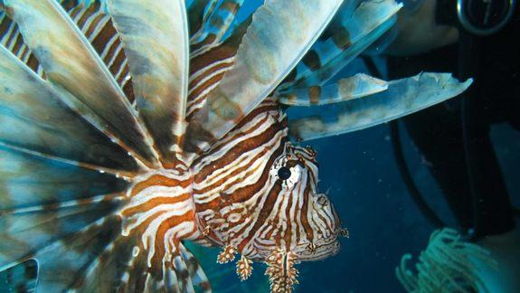Lionfish's Terminator-Style Killing Alarms Scientists