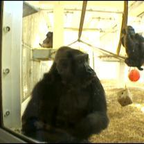 Como Zoo Awaits The Births Of Two Baby Gorillas